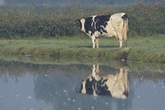 Koei, Cow. Koe langs slootkant Nederland, Cow along side of ditch Netherlands royalty free stock photos