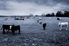 Koeien stock fotografie