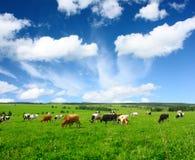 Koeien Royalty-vrije Stock Afbeelding