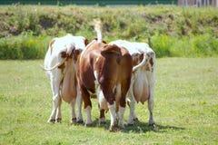 Koeien Stock Afbeelding