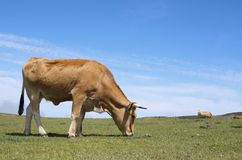 Koeien royalty-vrije stock fotografie