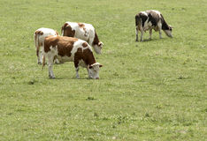 Koeien Royalty-vrije Stock Afbeeldingen