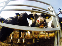 Leuke koeien Royalty-vrije Stock Afbeelding