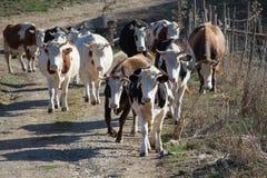 koeien Royalty-vrije Stock Foto