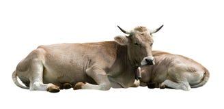 koeien Stock Foto's