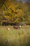 koeien Royalty-vrije Stock Foto's