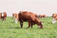 Koeien stock afbeeldingen
