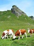 Koeien in aard Royalty-vrije Stock Afbeelding