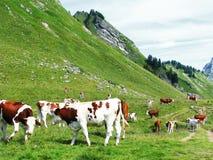 Koeien in aard Royalty-vrije Stock Afbeeldingen