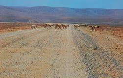Koeien in Afrika Stock Foto's