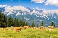 Koeien in Alpen Stock Afbeeldingen