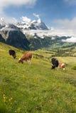 Koeien in Alpen, Zwitserland Royalty-vrije Stock Foto