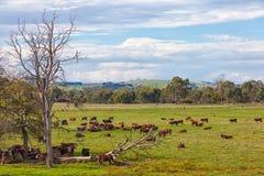 Koeien in Australië Royalty-vrije Stock Foto's