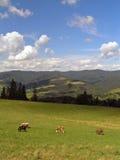 Koeien in bergen Royalty-vrije Stock Afbeeldingen