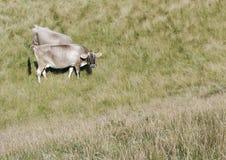 Koeien in bergweiden stock foto's