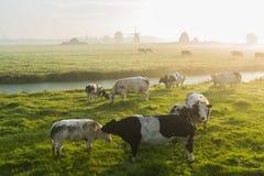 Koeien bij dageraad Royalty-vrije Stock Foto