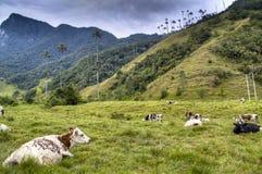 Koeien bij de Cocora-vallei Stock Afbeelding