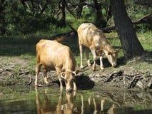 Koeien bij de rivier Royalty-vrije Stock Foto