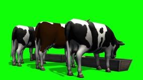 Koeien bij de watertrog - het groene scherm stock videobeelden