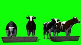 Koeien bij de watertrog - het groene scherm stock footage