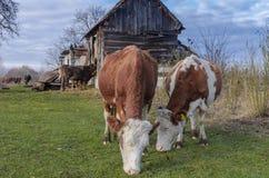 Koeien bij ecologisch landbouwbedrijf stock afbeelding