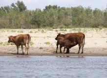 Koeien bij een riverbank Stock Foto's