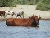 Koeien bij een riverbank Stock Fotografie
