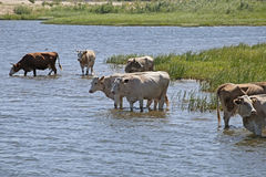 Koeien bij een riverbank Stock Foto