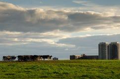 Koeien bij Experimenteel landbouwbedrijf, Ottawa royalty-vrije stock afbeelding
