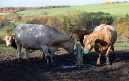 Koeien bij het water geven Stock Afbeeldingen