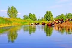 Koeien bij het water geven Stock Foto's