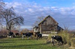 Koeien bij Landbouwbedrijf Stock Afbeeldingen