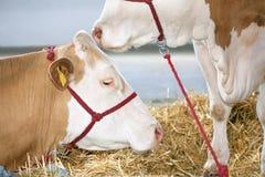 Koeien bij Landbouwbedrijf Royalty-vrije Stock Afbeelding