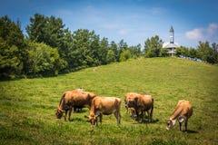 Koeien bij Landbouwbedrijven Chiyoda stock fotografie