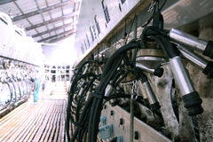Koeien bij melklandbouwbedrijf Royalty-vrije Stock Fotografie