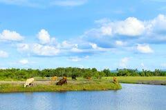 Koeien bij rivieroever Royalty-vrije Stock Afbeelding