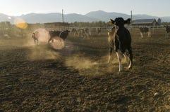 Koeien bij Schemer Royalty-vrije Stock Foto