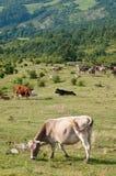Koeien bij weiland Stock Afbeeldingen