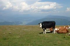 Koeien bovenop een berg stock afbeeldingen