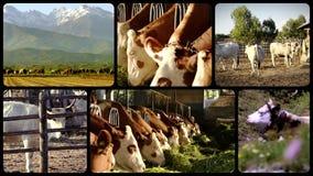 Koeien, collage stock video