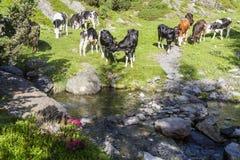 Koeien in de alpen Royalty-vrije Stock Afbeeldingen