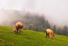 Koeien in de alpen royalty-vrije stock afbeelding