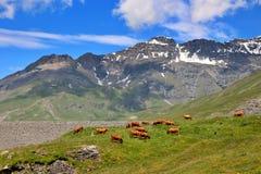 Koeien in de alpen Stock Fotografie