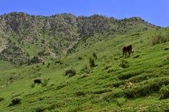 Koeien in de bergen Stock Foto's