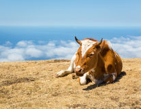 Koeien in de bergen Royalty-vrije Stock Foto