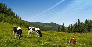 Koeien in de bergen van de Alpen Stock Afbeeldingen