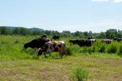Koeien in de de zomerdag Stock Foto