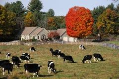 Koeien in de herfstlandbouwbedrijf stock foto