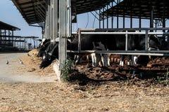 Koeien in de koeiestal Stock Fotografie