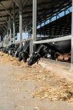 Koeien in de koeiestal Royalty-vrije Stock Foto